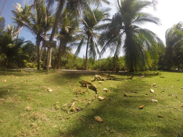 Iguanas em Johnny Cay